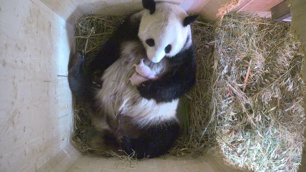 Le 7 août, le panda géant Yan-Yan du zoo de Vienne a accouché de jumeaux