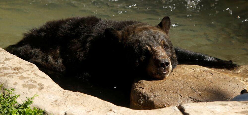Un ours noir au zoo de Los Angeles, dans l'Etat de Californie