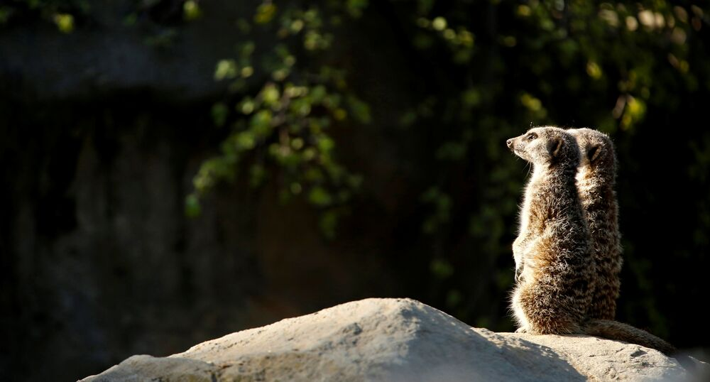 Des suricates au zoo de Los Angeles en Californie