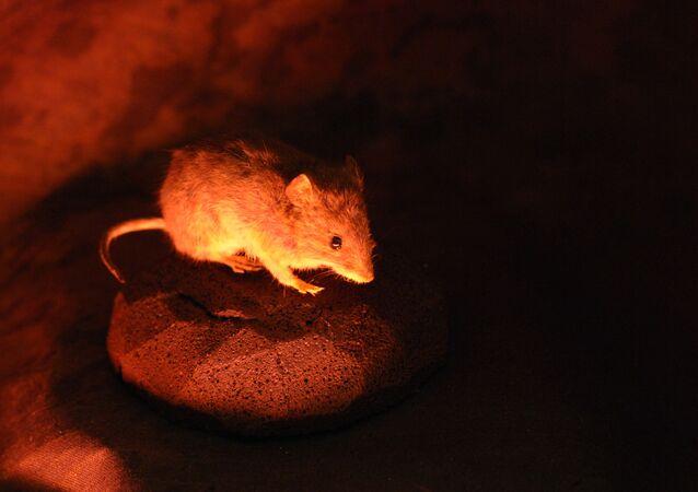 Comment les souris-yogis arrivent-elles à se décontracter?