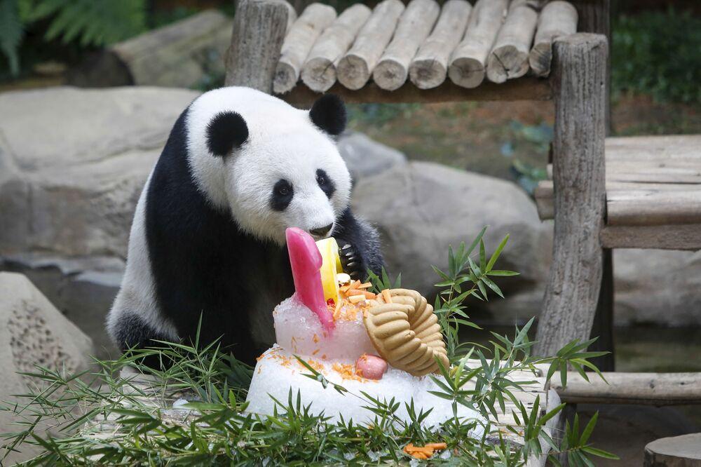 Le panda géant Feng Yi a célébré son 10e anniversaire dans le zoo Negara de Kuala Lumpur, en Malaisie.