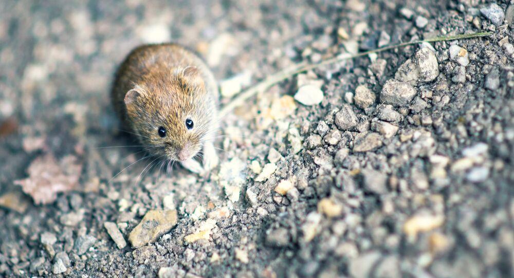 Une souris cloue au sol un avion d'Air France pour deux jours