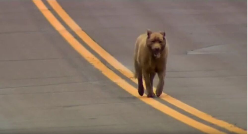 Ce chien qui salue la ville chaque jour depuis 12 ans