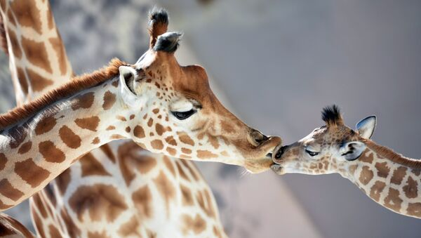Une girafe - Sputnik France