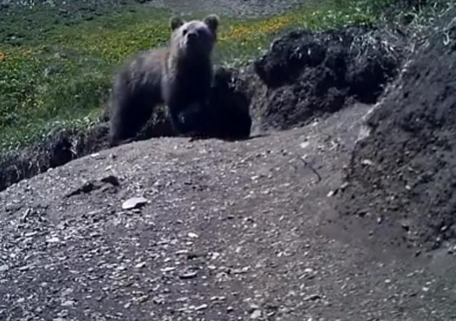Un ours supposé disparu piégé par une caméra dans l'Altaï