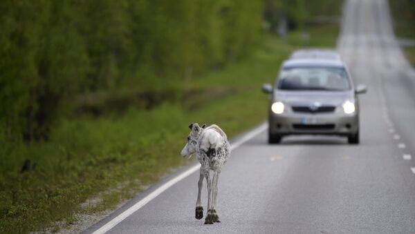 Reindeer walks on the road at Ranua, Finland (File) - Sputnik France