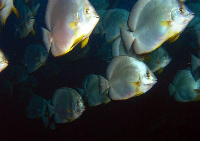 Des poissons chauve-souris