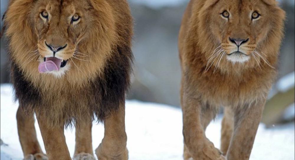 Lionnes androgènes au Botswana