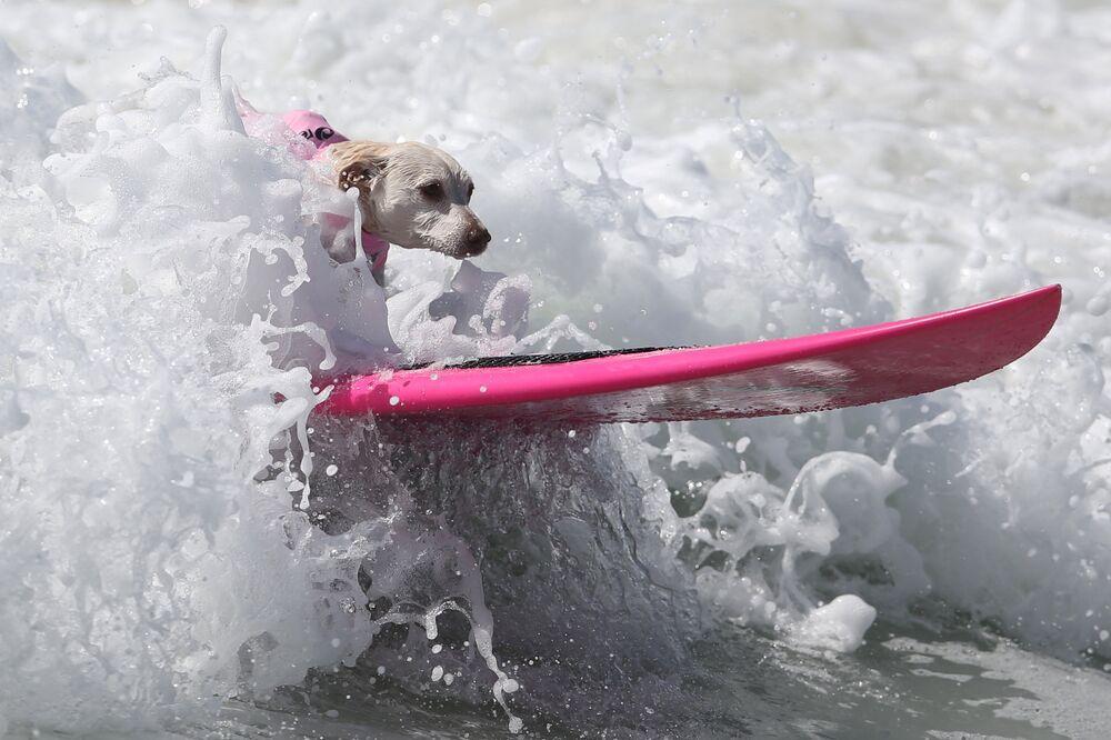 Les compétitions de chiens surfeurs ont eu lieu sur la plage californienne de Huntington