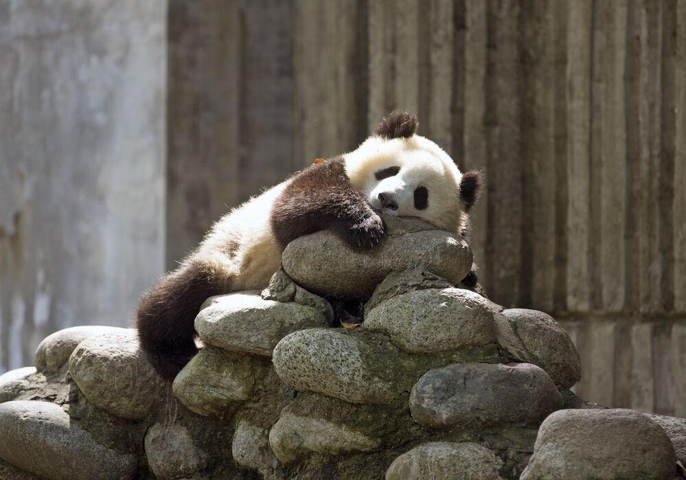 Un panda géant dans un centre de recherche en Chine