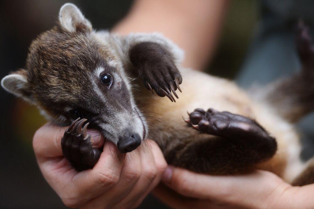Le 26 septembre, les policiers ont remis le bébé koati au zoo national de San Salvador.
