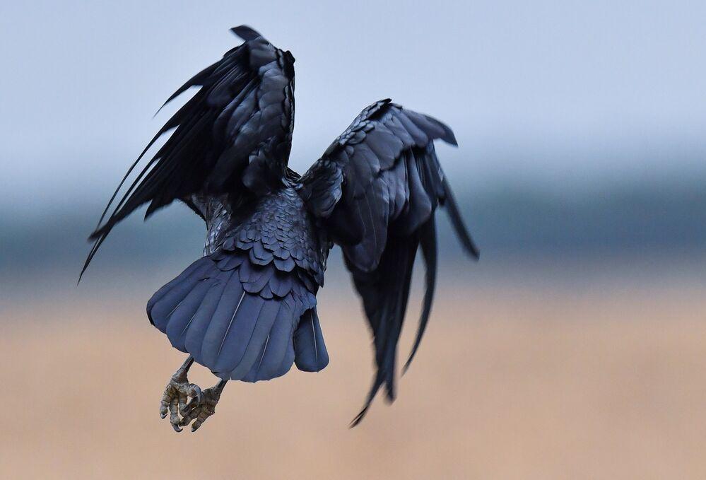 Un corbeau en Allemagne