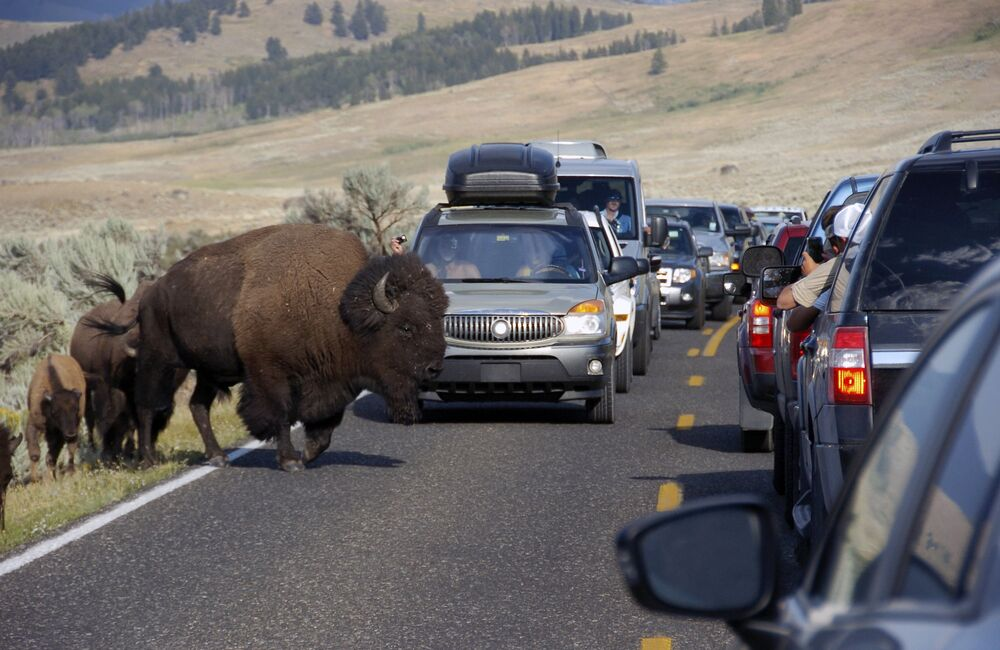 Près de 4 millions de bisons vivent sur le territoire du parc national de Yellowstone aux États-Unis