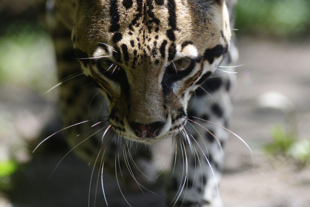 Un oncille dans le zoo national de San Salvador