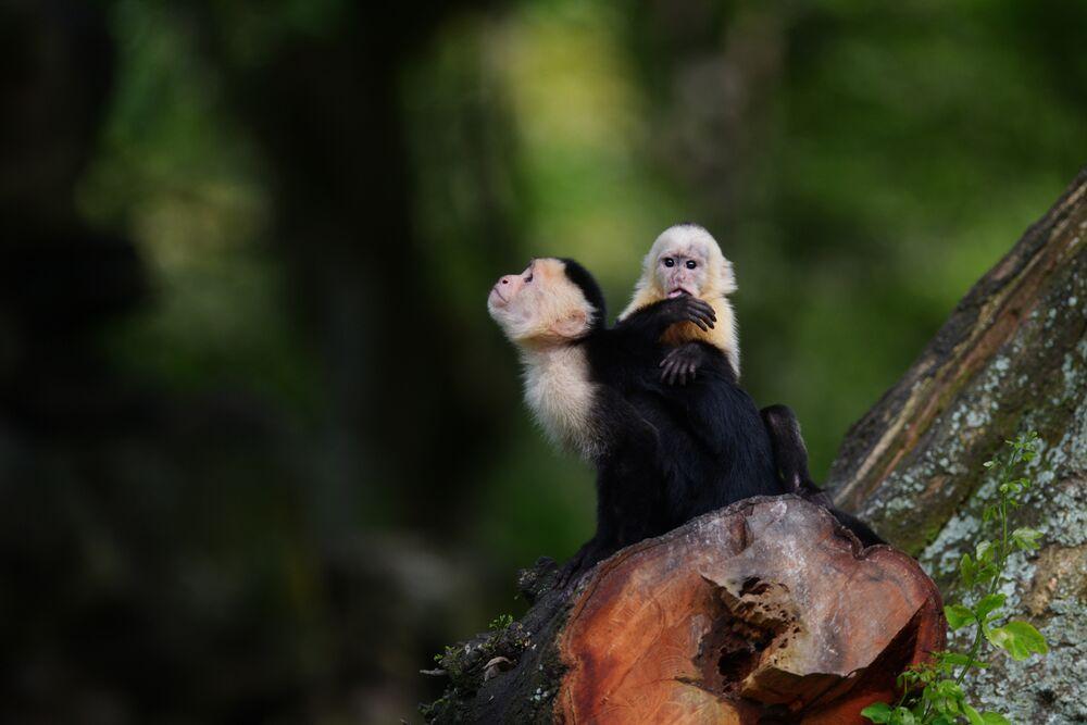 Des capucines dans le parc national de Salvador à San Salvador