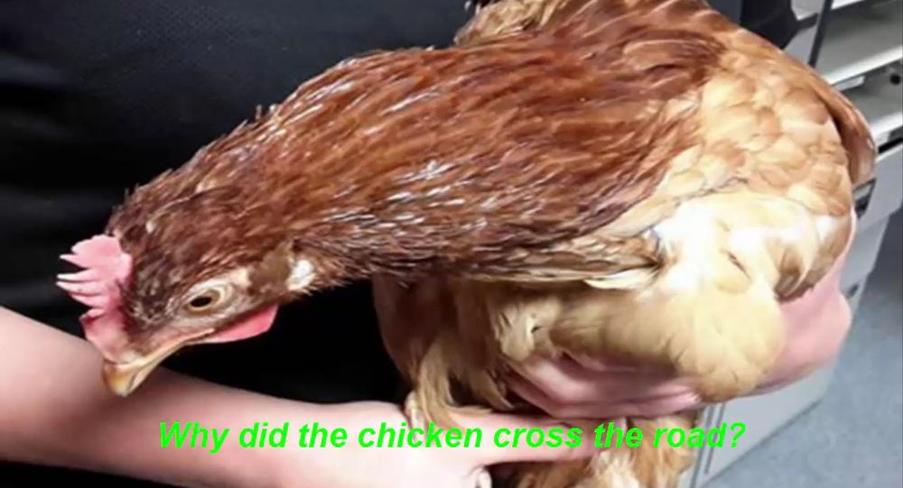 En Ecosse, il y a des poulets hors la loi