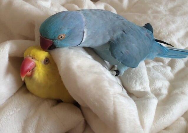 Ce perroquet paresseux fait la grasse matinée