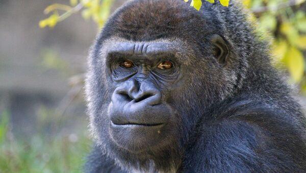 Un gorille - Sputnik France