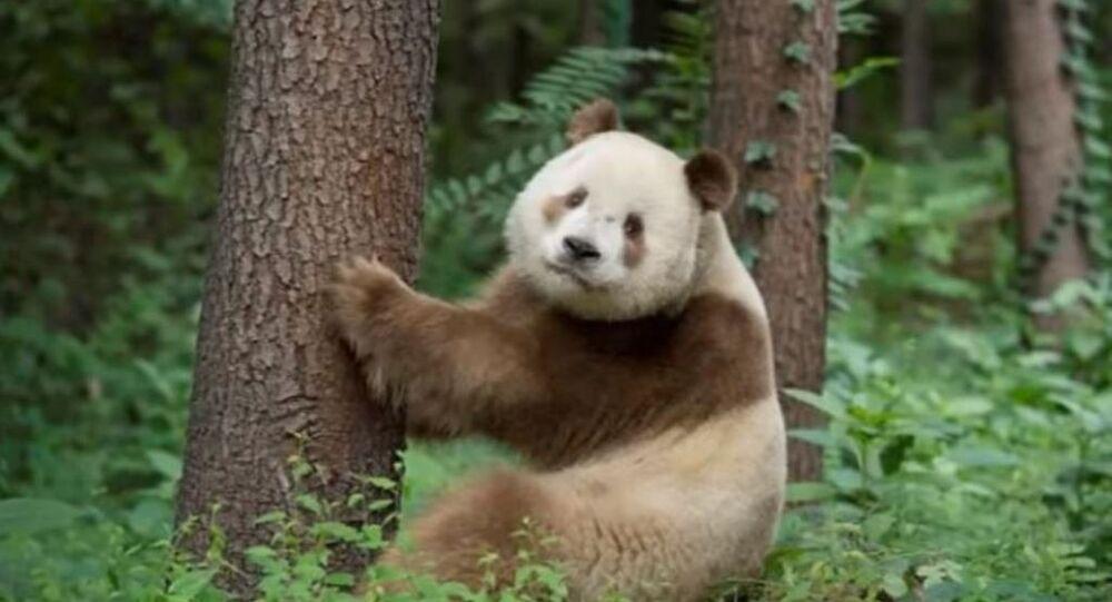 Le panda Qizai