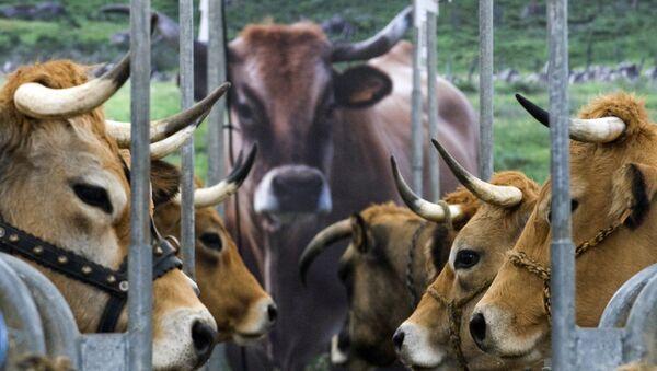 Du bœuf pour les réfugiés, solution à la crise bovine ? - Sputnik France