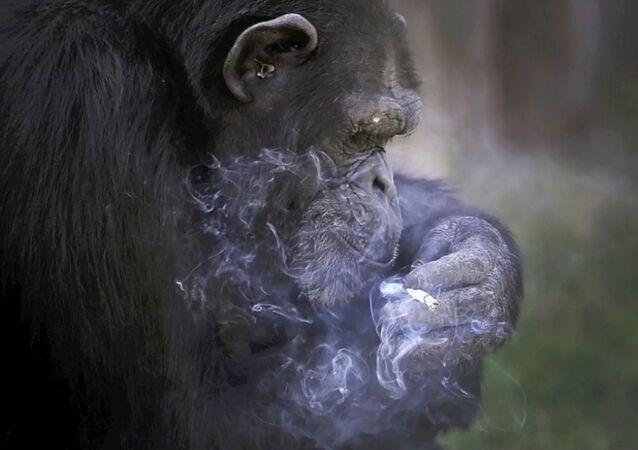 Un chimpanzé fumeur vedette du zoo de Pyongyang