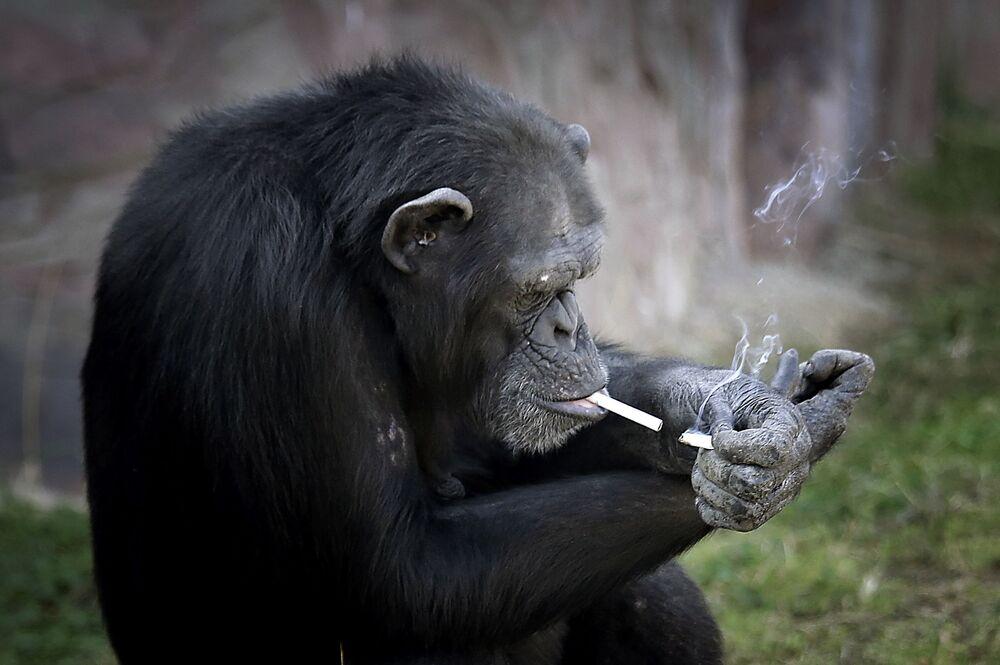 La chimpanzé Azalia, 19 ans, est devenue la vraie star du zoo de Pyongyang, en Corée du Nord