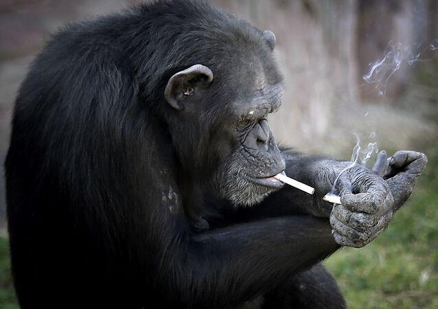La chimpanzé Azalia, 19 ans, est devenue la vraie star du zoo de Pyongyang, en Corée du NordQuoi de neuf dans le monde animal?