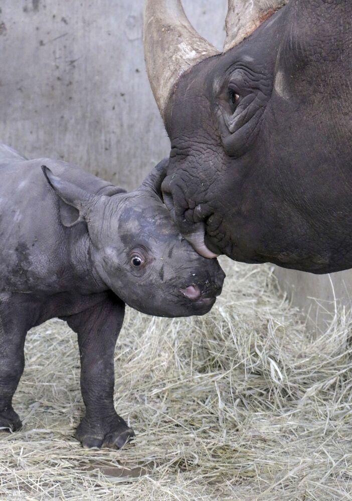 Un bébé rhinocéros noir est né dans le zoo de la ville de Des Moines, dans l'État américain de l'Iowa