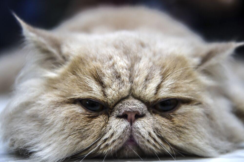 Un chat persan participant à une exposition féline en Turquie