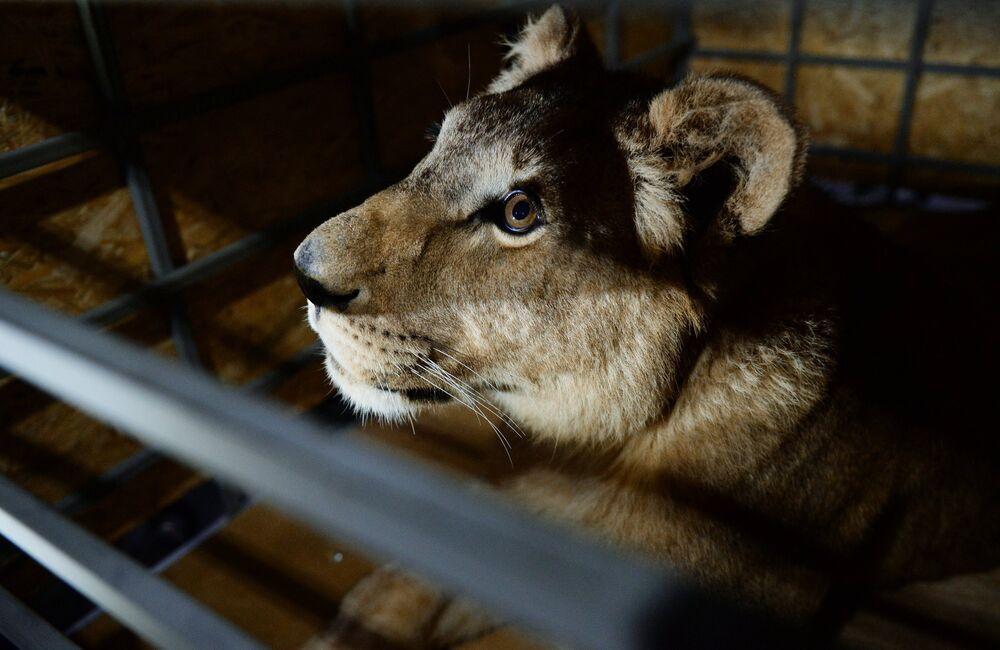 La lionne nommée Lola a été retrouvée dans un état pitoyable dans un zoo privé de la région de Tcheliabinsk