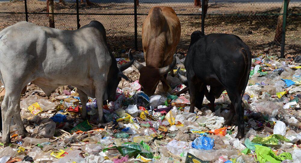 Des vaches dans un tas de déchets situé au bord d'une route à Gandhinagar, en Inde