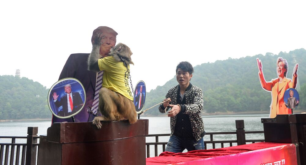 Geda le singe choisit Trump