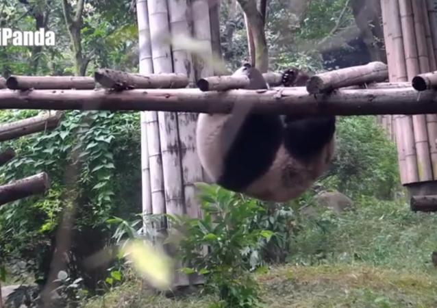Le panda qui voulait devenir acrobate