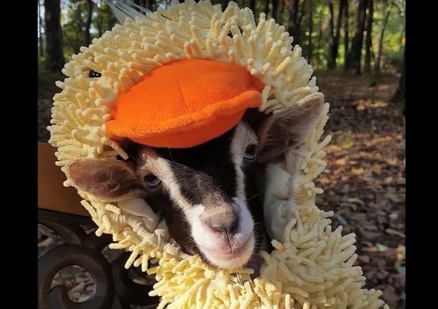 Polly, la chèvre qui se prend pour un canard