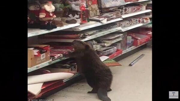 Les castors font aussi leurs courses de Noël! - Sputnik France