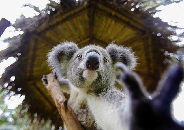 Un Australien vient au secours d'un koala qui se noie