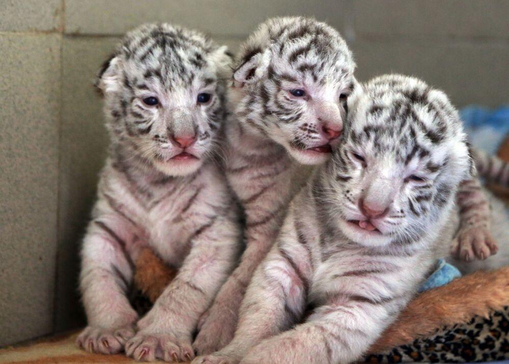 Trois tigres blancs du Bengale sont nés dans le zoo «Skazka» à Yalta (Crimée, Russie). Les petits tigres portent les noms des trois mousquetaires décrits par Alexandre Dumas: Athos, Porthos et Aramis
