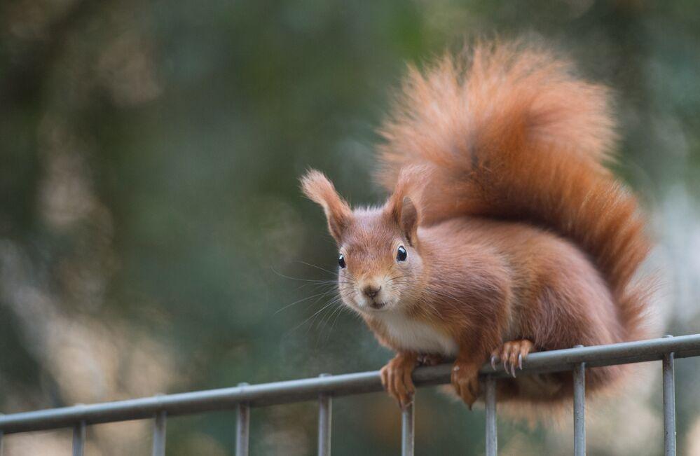 Un écureuil dans un parc de Stuttgart (Allemagne)