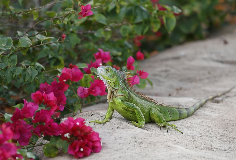 Un iguane devant des fleurs à Hollywood (Floride, États-Unis)