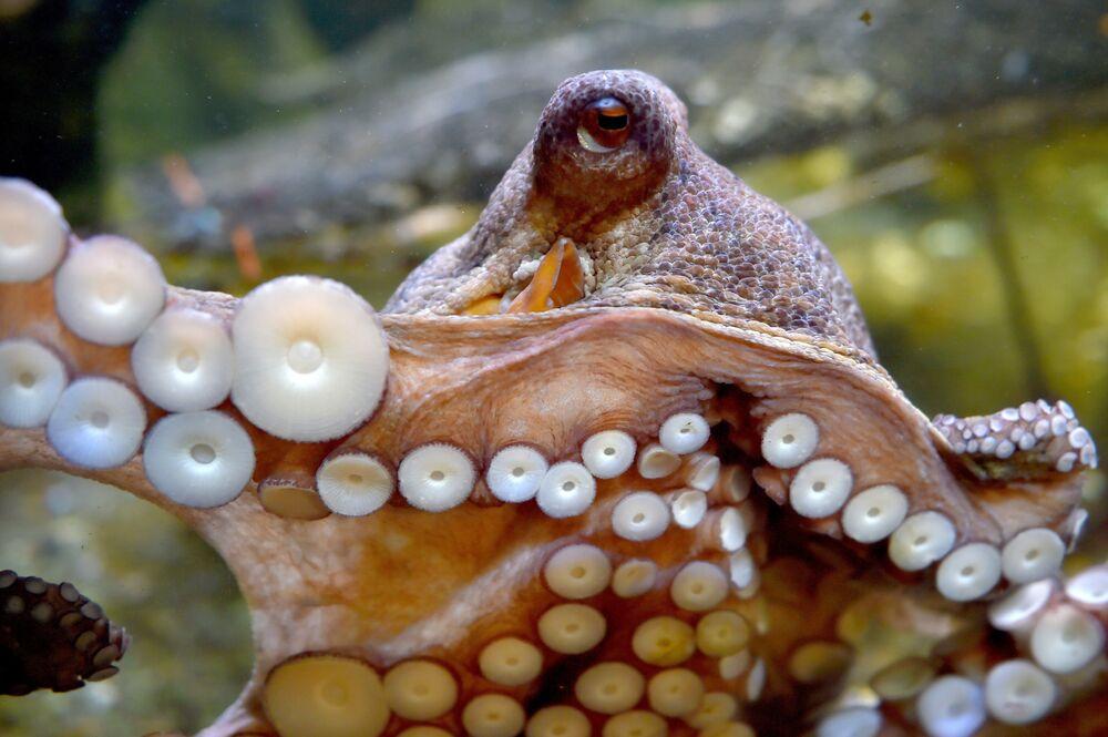 Une pieuvre dans le grand aquarium du Croisic en France