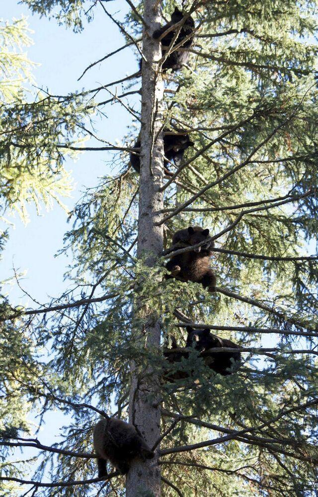 Le centre de réinsertion des animaux sauvages Snowdon Wildlife Sanctuary à McCall (Idaho, États-Unis) sauve divers animaux, mais il doit sa popularité à ces oursons