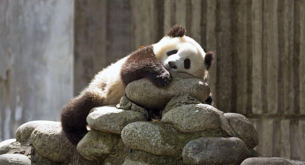 Au Centre de recherche sur le Panda géant en Chine