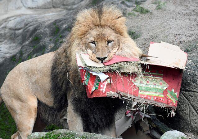 Lion dans un zoo