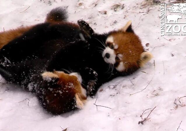 Des pandas éclatants s'amusent dans la neige