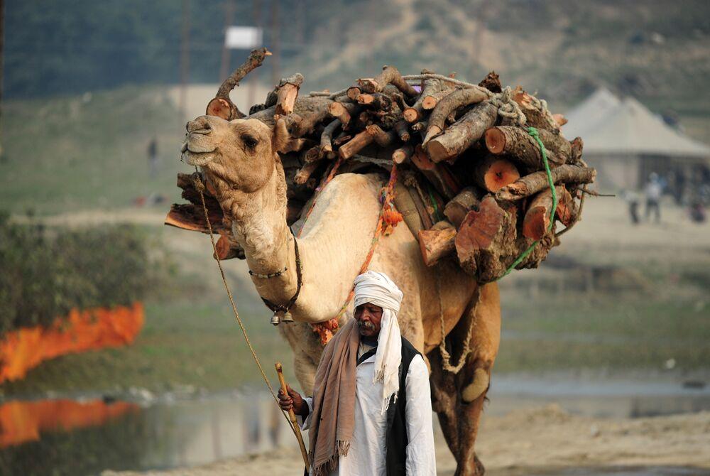 Un chameau porte du bois à Allahabad, en Inde