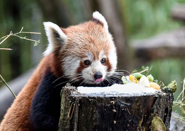 Le panda éclatant est  un mammifère prédateur. Cependant, le régime de ces animaux est essentiellement constitué de végétaux. Ils aiment surtout les fruits et ce résident du zoo de Mulhouse en France ne fait pas exception