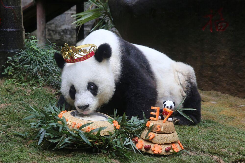 Le plus vieux panda géant (Fuzhou, Chine) a fêté son 37e anniversaire