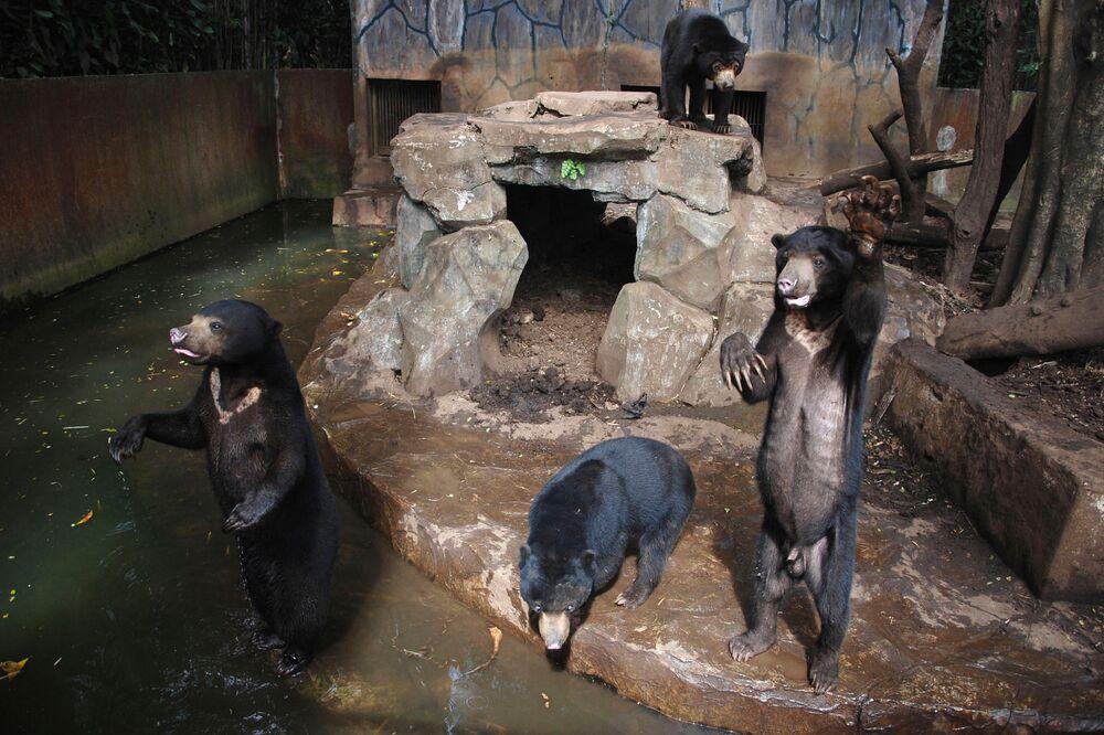 Les visiteurs du zoo de Bandung en Indonésie ont été choqués par l'air fatigué des ours malais qui leur demandaient de la nourriture