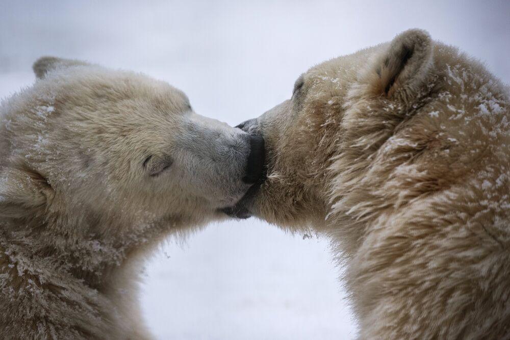 Les ours blancs du Centre pour la reproduction des espèces rares d'animaux dans le village de Sytchevo situé aux abords de Moscou