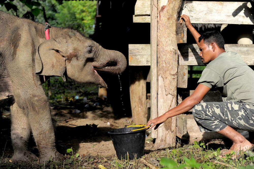 Il y a quelques jours, les employés du Centre pour la conservation d'éléphants à Aceh (Indonésie) ont commencé à soigner un bébé éléphant déshydraté